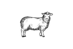 Sheep farm animal engraving vector illustration