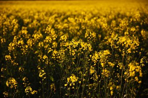 Yellow field at sunset