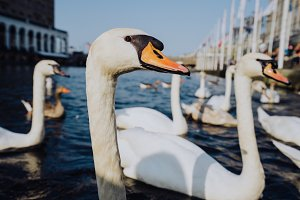 Swan head close up on Alster lake near the Town Hall. Hamburg, Germany