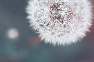delicate meadow dandelion flower wil