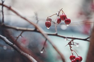Nature spring. Red berries with drop