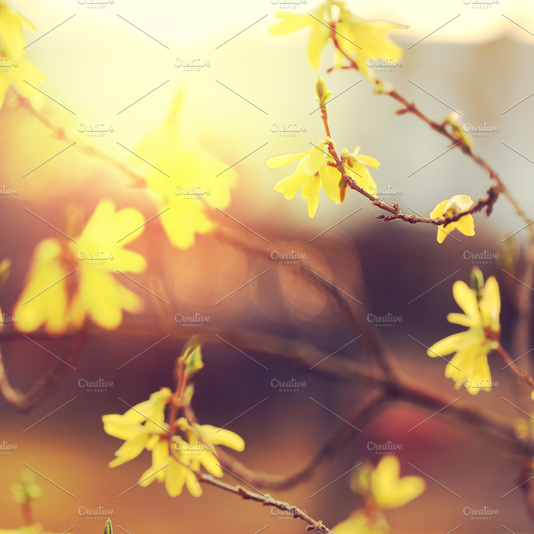 Yellow Flowers On Branches At Sunris High Quality Stock Photos