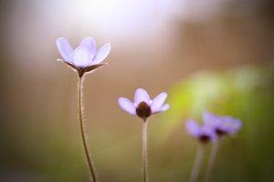 many delicate purple wildflowers on