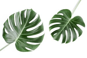 Tropical leaves Monstera.