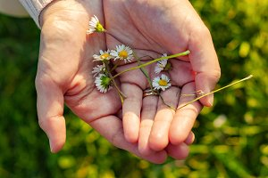 Small daisies in hands