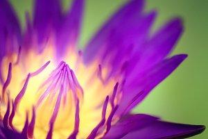 Purple Yellow Lotus flower