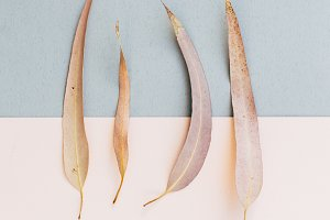 set of dry eucalyptus leaves