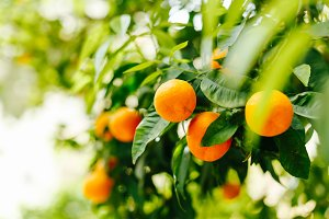 Branches fruit trees with mandarins