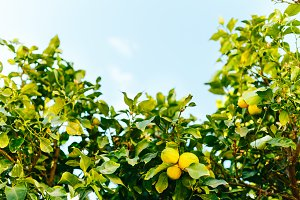 Branches of fruit trees with lemons