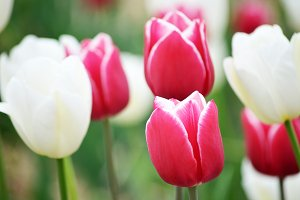 Tulips pink and white. Spring
