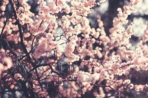 Spring sakura cherry flowers