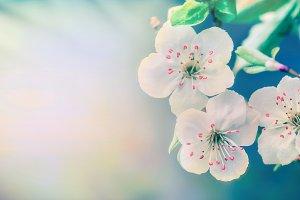 White blossom at pastel blue nature