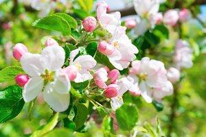 White flowers on apple tree