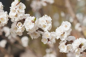 Branch of apple tree with blossom