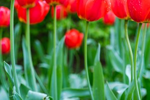 Red tulips with green foliage in the park. Spring season time