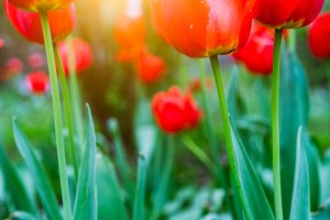 Group of red tulips in the park with sun backlit light. Spring season time