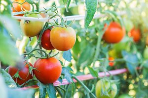 Ripe natural tomatoes