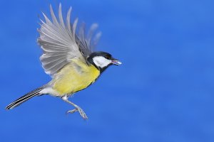 Great tit in flight.