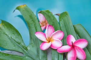 Frangipani Plumeria flower tropical background