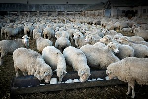 Sheeps' herd at the farm