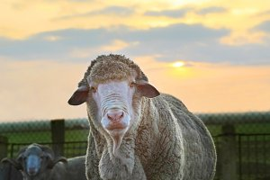 Close-up Sheep