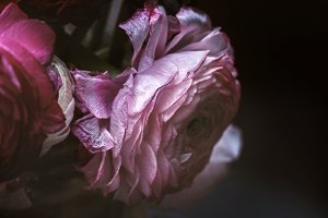 Fading pink ranunculus