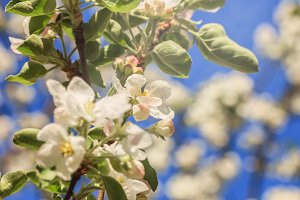 Flowering apple tree branc