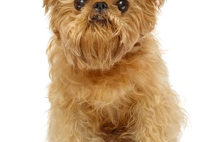 Shaggy dog  Brussels Griffon