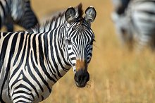 Zebra by Volodymyr Burdiak in Animals