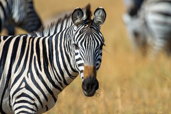 Animal Stock Photos - Zebra