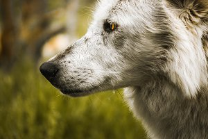 White Wolf Yellowstone