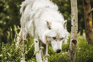 White Wolf Yellowstone 2