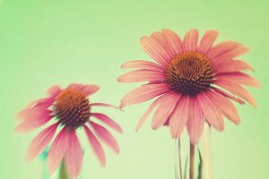 The Coneflowers III