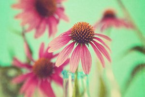 The Coneflowers I