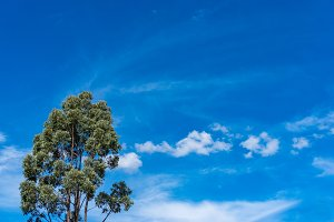 Eucalyptus tree canopy with picturesque clouds on the background