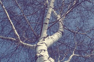 Birch tree from frog perspective