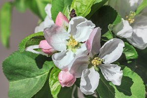 Flowering apple tree branch