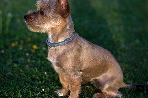 Small beige puppy dog