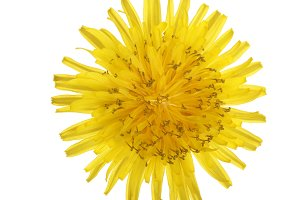 Dandelion flower or Taraxacum Officinale isolated on white background