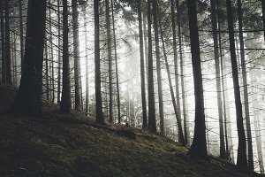 Pine tree forest with mysterious fog