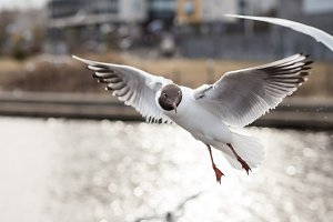 Funny Black-headed Gull looking to camera during flying. Lake birds