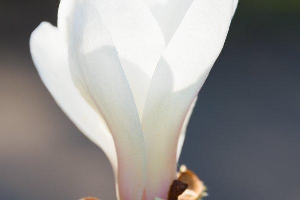 blossom magnolia tree flower
