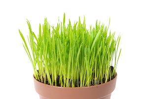 Green wet grass in a pot