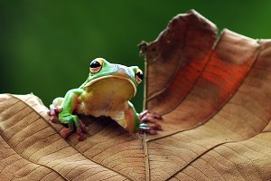 Frogs on Leaves