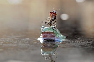 Mantis on Frogs