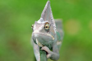 Chameleon Veiled Face