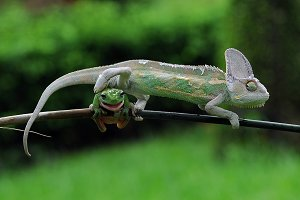 Chameleon Veiled with Frogs