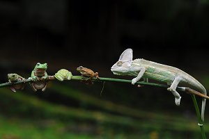 Chameleon Veiled with Frogs,