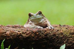 Dumpy Frogs
