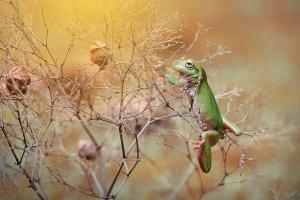 Dumpy Frog